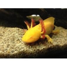 Аксолотль желтый