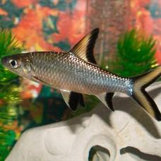 Акулий балу, барбус акулий (Balantiocheilos melanopterus) 4 см