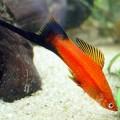 Меченосец  ассорти (Xiphophorus hellerii var.)