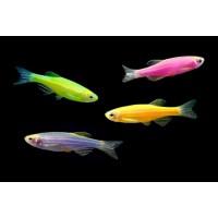 Данио Glofish ассорти ( зеленые, апельсиновые, розовые) (Brachydanio rerio)