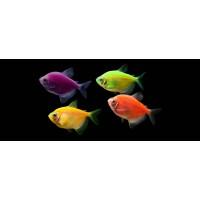 Тернеция карамель Glofish ассорти(зеленые, фиолетовые) (Gymnocorymbus ternetzi)