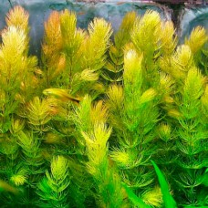 """Роголистник (Ceratophyllum demersum """"rotstengelig"""")"""