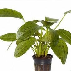 """Эхинодорус """"Оцелот зеленый"""" (Echinodorus Ozelot green) в горшке 2-5 растений"""